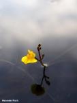 פריחת נאדיד המים Utricularia australis