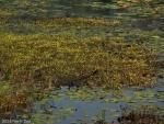 מושבה של נאדיד עדין Utricularia gibba