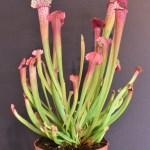 צמחים טורפים למכירה