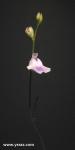 פריחת נאדיד Utricularia livida
