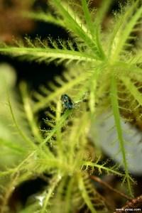 צמח טורף רורידולה Roridula