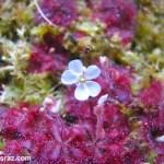 פריחת-טללית-brevifolia