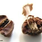 זרעי-שופרית-סגלגלה-ירוקה