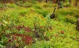 טחב ספגנום Sphagnum Moss