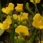 פריחת נאדיד עדין Utricularia gibba