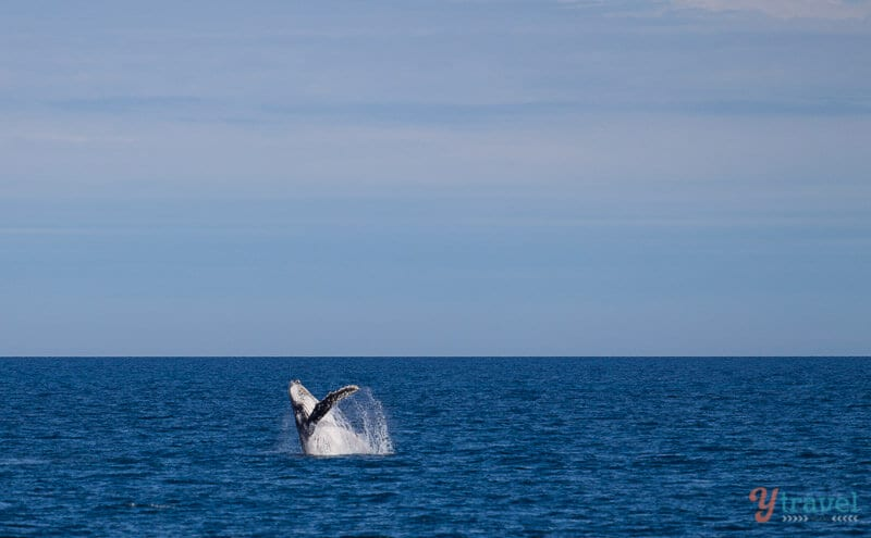 Humpback whale breaches in Hervey Bay, Queensland, Australia