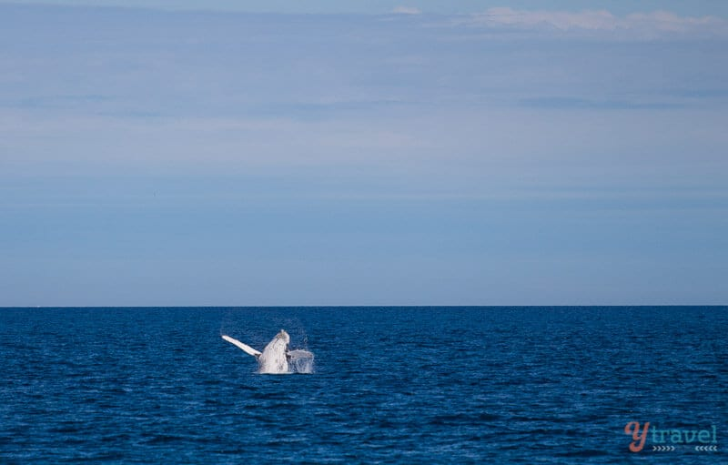 Humpback whale breaches in Hervey Bay, Queensland, Australia
