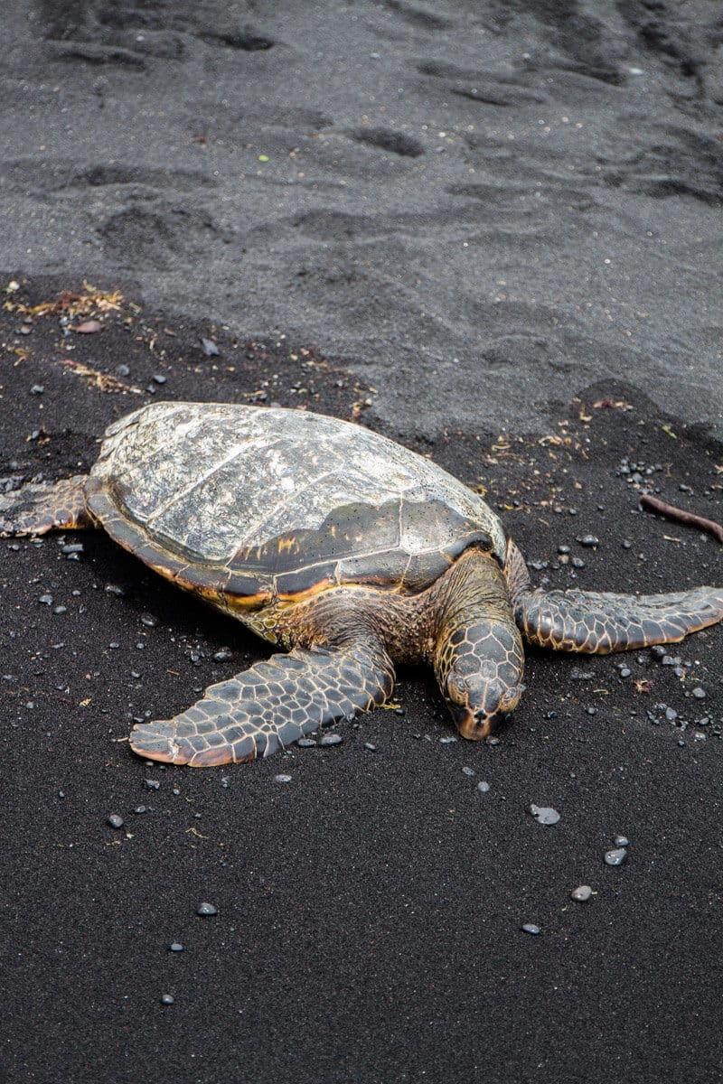 See turtles on Black Sand Beach - things to do on the Big Island of Hawaii