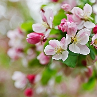 My-favourite-cherry-blossom-flower-shot-of-the-day