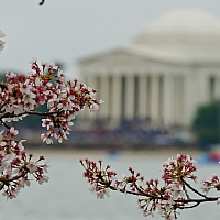 More-cherry-blossoms
