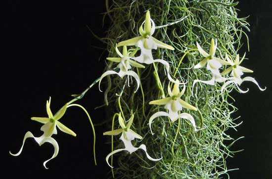 Ghost Orchids in the Wild: