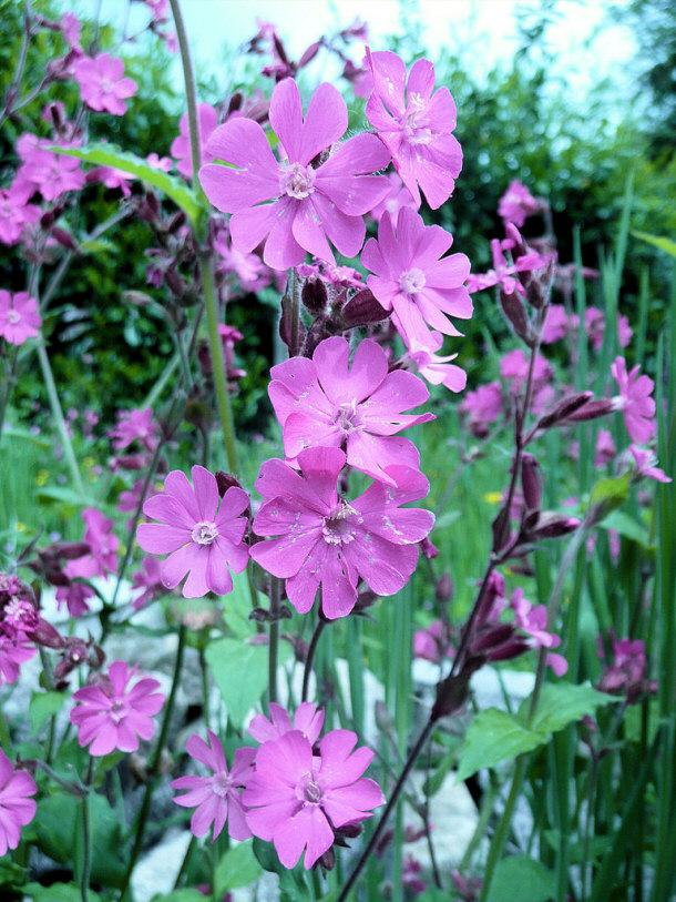 Red Campion Flower