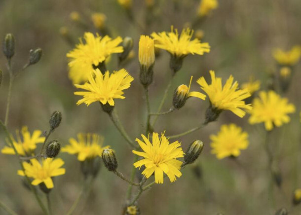 Snowdonia Hawkweed Flower