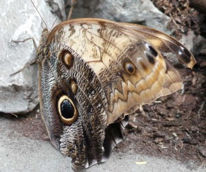Vlinder ogen kijken je aan