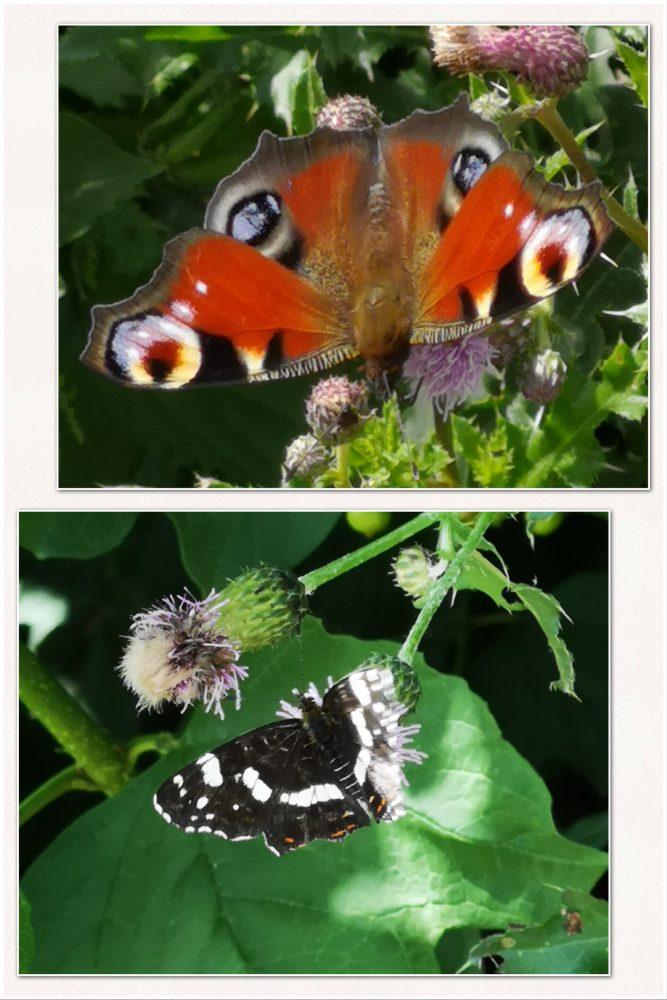 Vlinders, natuur, Gemert, yustsome