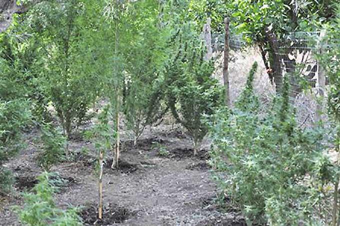 """Adrano, piantagione di """"erba"""" in Contrada Chiusa: arrestato 47enne adranita"""
