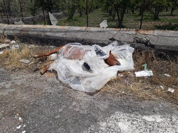 Santa Maria di Licodia. Rinvenuto cavallo morto