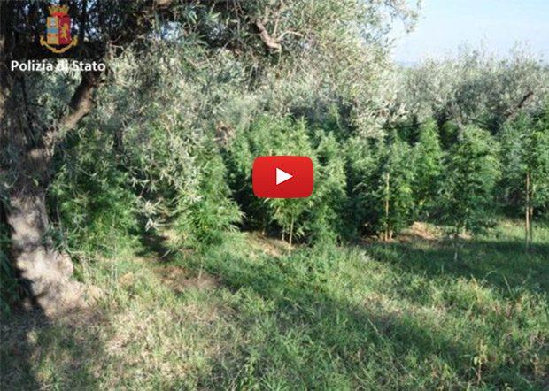 Carcaci. La Polizia scova appezzamento di terreno coltivato con marijuana