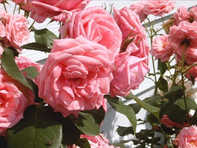 John's Roses