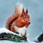 Wildlife Trust Red Squirrel Christmas Card