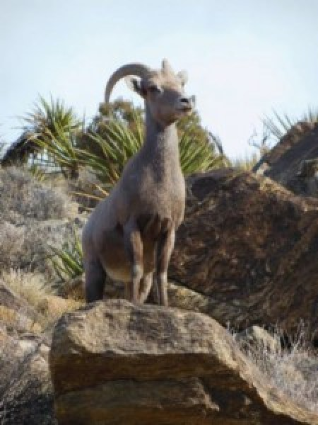 Bighorn sheep posing on the Ryan Mountain trail in Joshua Tree National Park on Dec.  3, 2013.   (Photo by Gary Eastin)