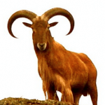 Zac Griffith TEXAS AOUDAD