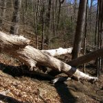 Large deadfall along Mt. Mitchell Trail