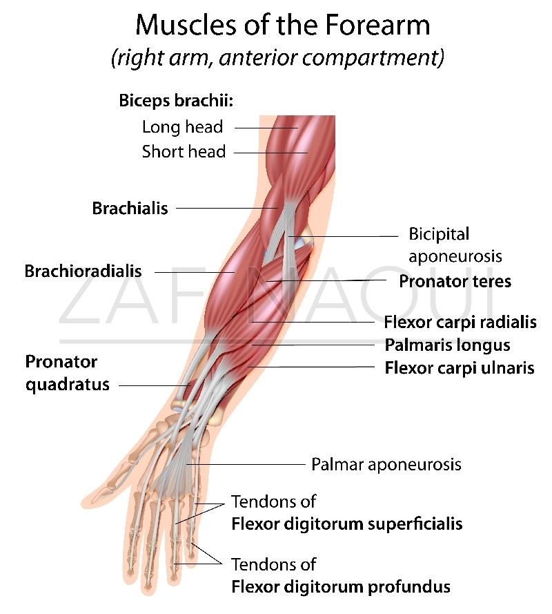 Finger Flexor Tendon Anatomy