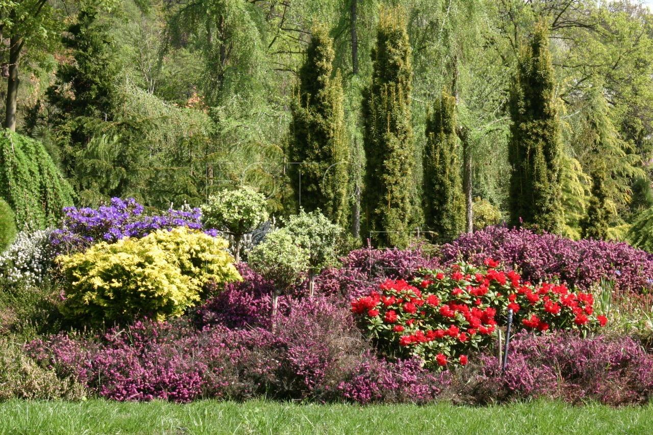 Barva pěnišníků se nejlépe odráží od zeleně trávy a jehličnanů