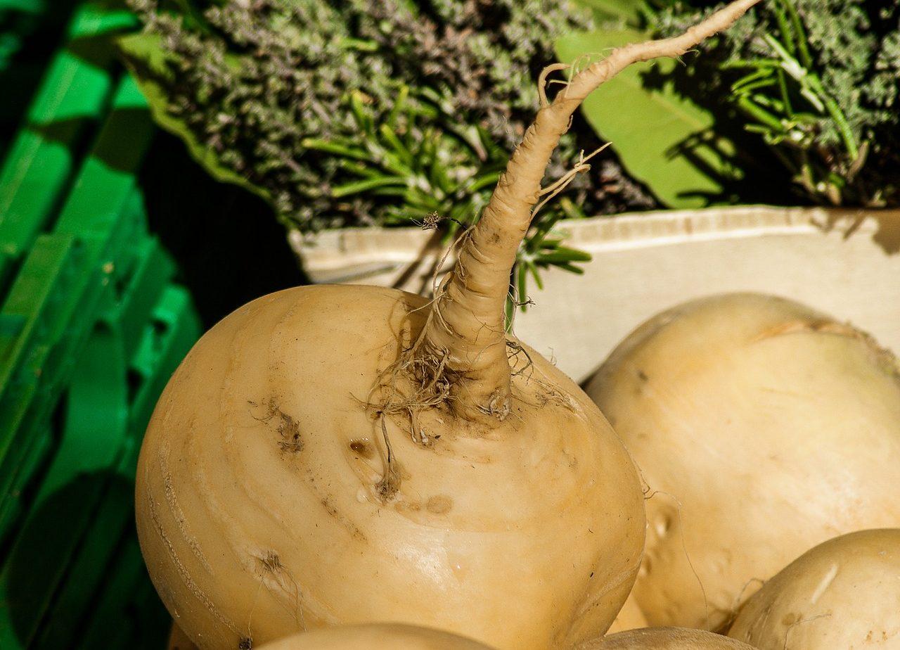 Žlutomasý tuřín, který lze upravovat podobně jako brambory