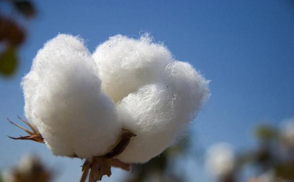 cotton02