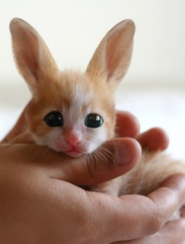 chat-lapin