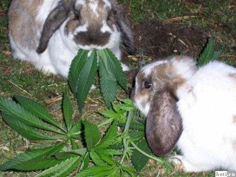 lapins drogués