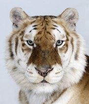 Bengal-tigers-Bhara-one-o-007