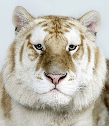 Bengal-tigers-Kahn-one-of-010