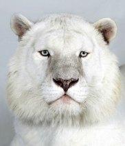 Bengal-tigers-Kaylash-a-8-017