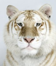 Bengal-tigers-Muktan-one--009