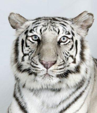 Bengal-tigers-Sukino-a-10-011