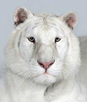 Bengal-tigers-Sundari-a-2-018