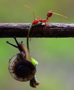 fourmi escargot