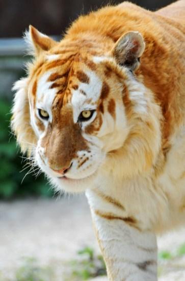 tigre orange blanc