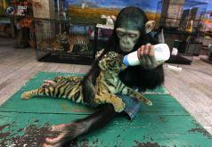 singe bebe tigre biberon