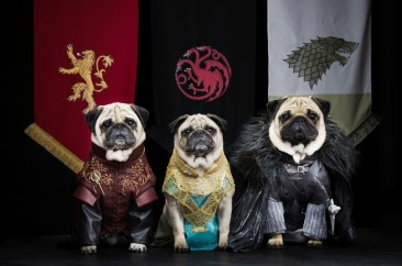 Game of Thrones Pugs: Couple Recreate Hit HBO Series With Their Three Dogs