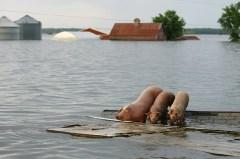 cochon toit innondation