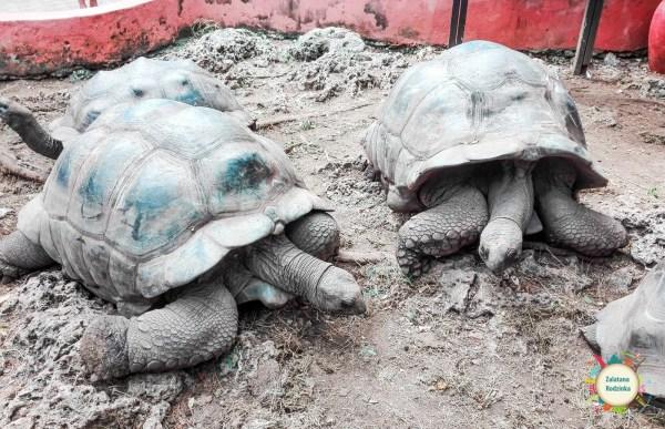 żółwie na Zanzibarze