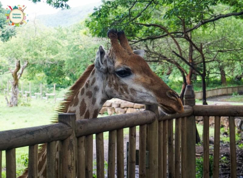 żyrafa afryka