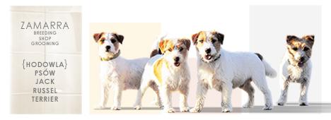 Zamarra - Hodowla psów rasy Jack Russell Terrier