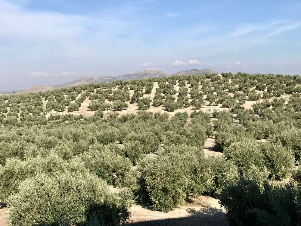 Olivares de Jaén