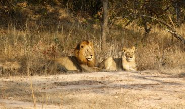 Lions of Kafue
