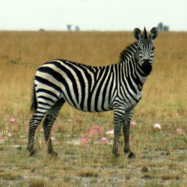 Burchell's Zebra in Liuwa Plain